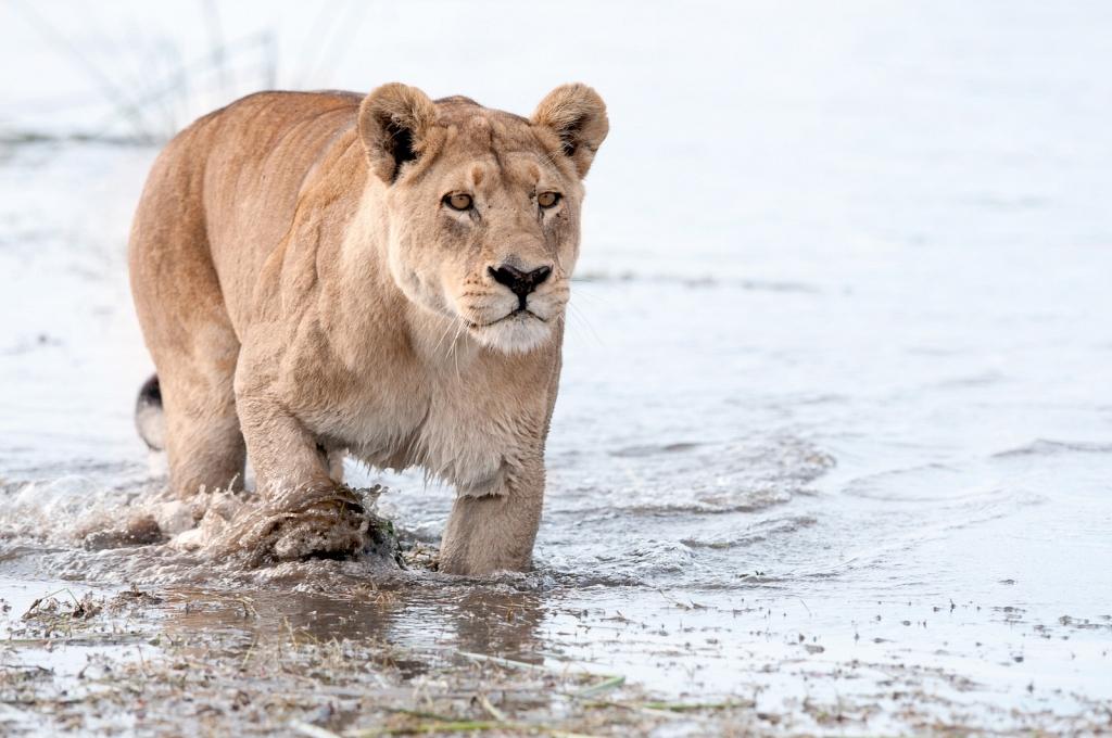 lioness-crossing-water.jpg