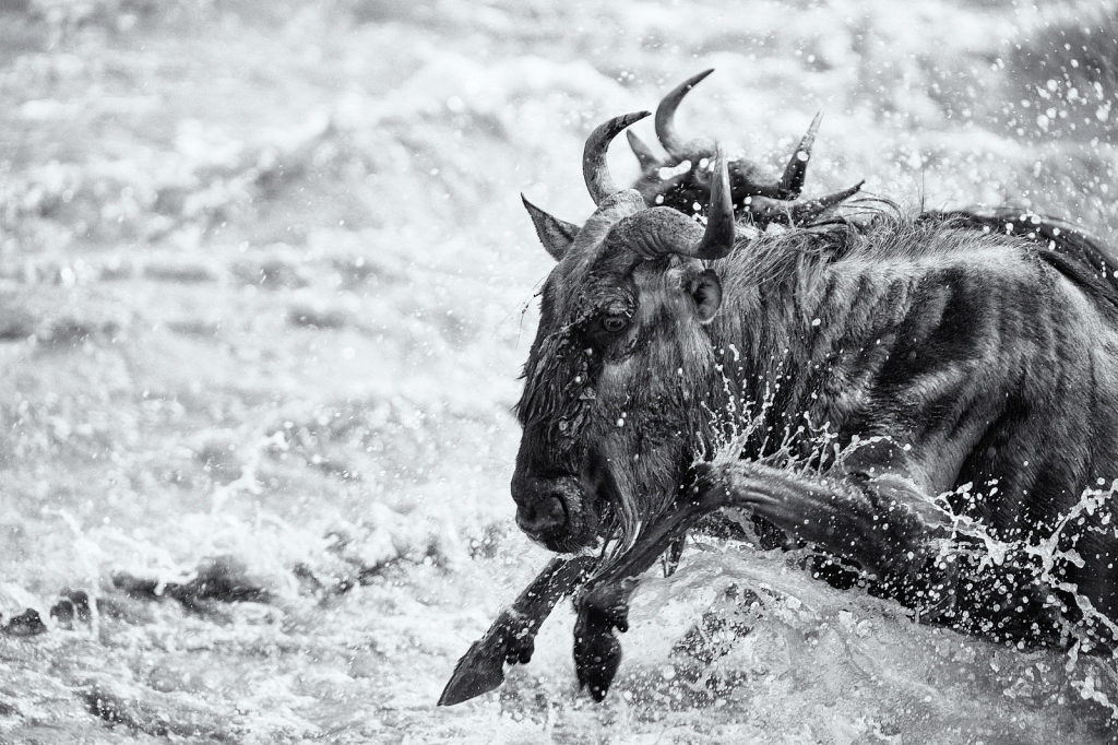 wildebeest-in-mara-river.jpg