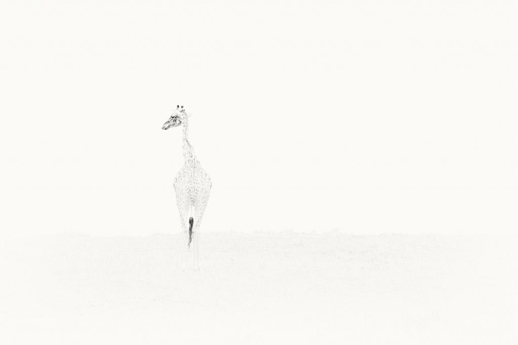 Lone-giraffe.jpg
